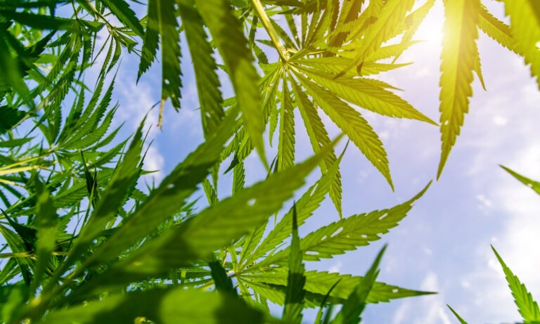 UK Researcher Says Hemp Captures More CO2 Than Forests